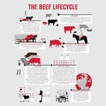 The Beef Lifecycle_2